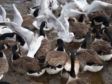 bird control geese gulls