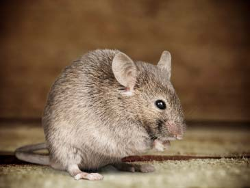 1-rodent_control_mouse_small