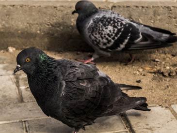 bird control pigeons